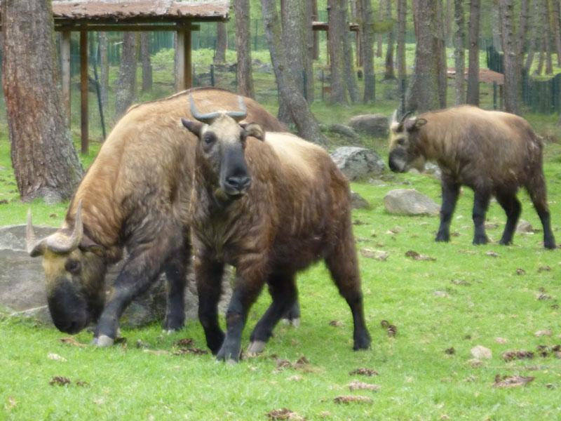 Takins at the Motithang taken reserve